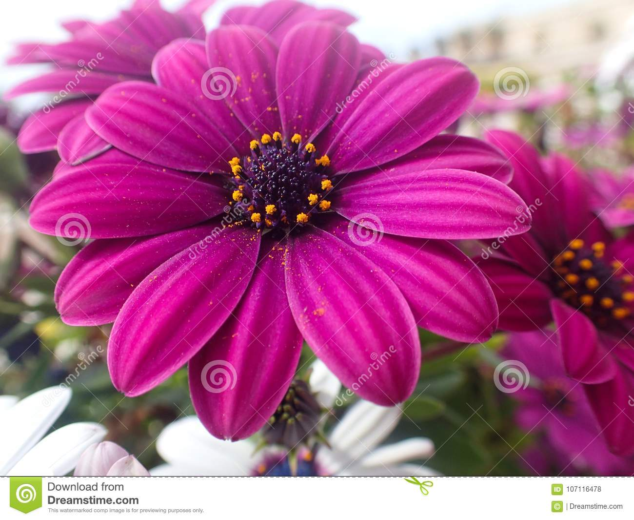 Lovely Pink Flowers In My Spring Garden Stock Photo Image Of
