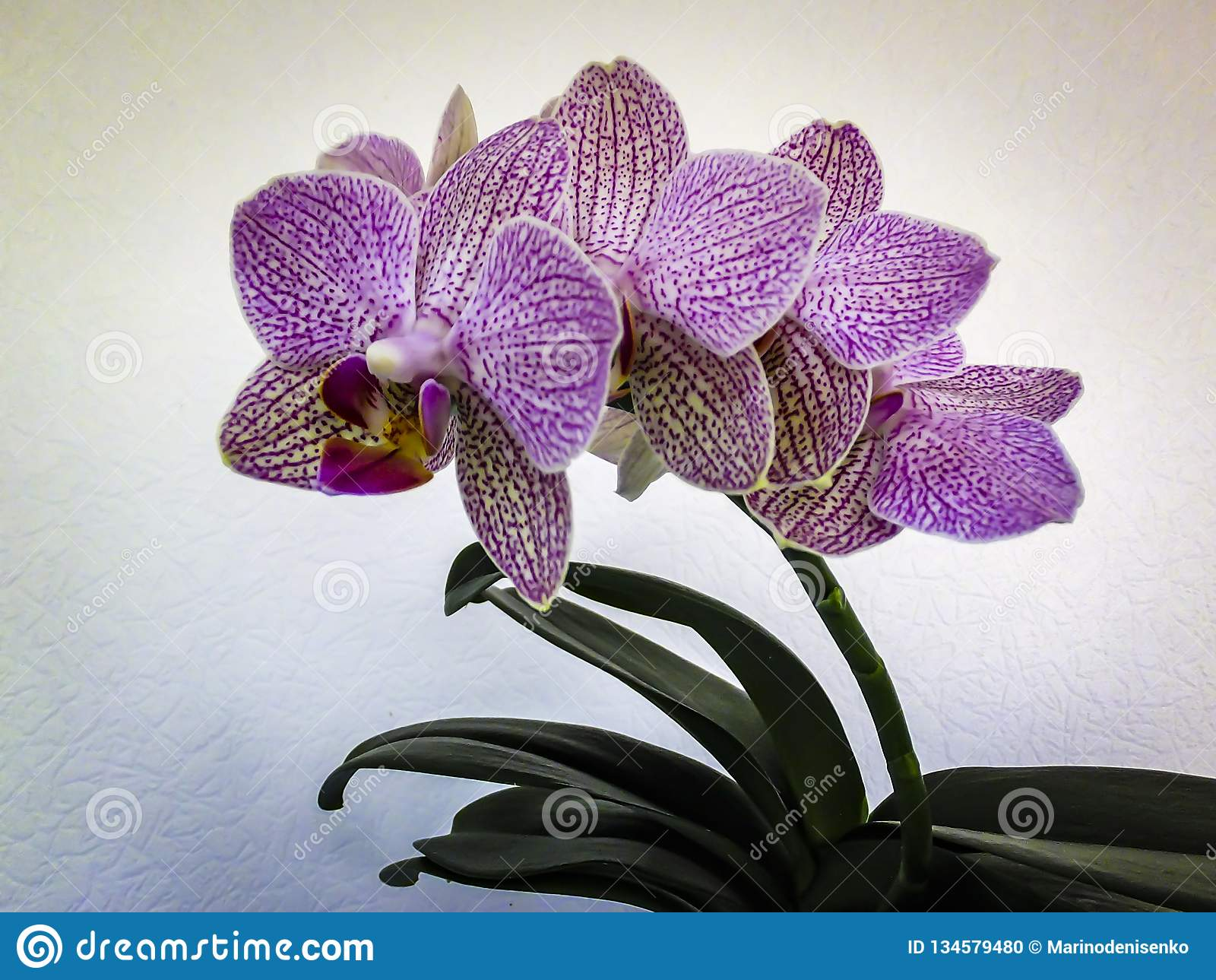 Very Beautiful Orchid Flower Phalaenopsis Known As The Moth