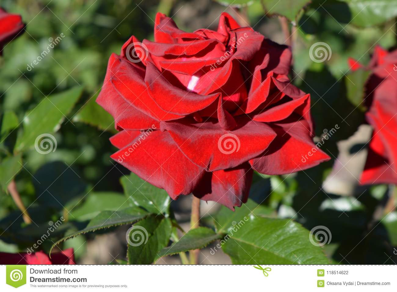 Red rose a rose in the garden stock photo image of scent download red rose a rose in the garden stock photo image of scent izmirmasajfo