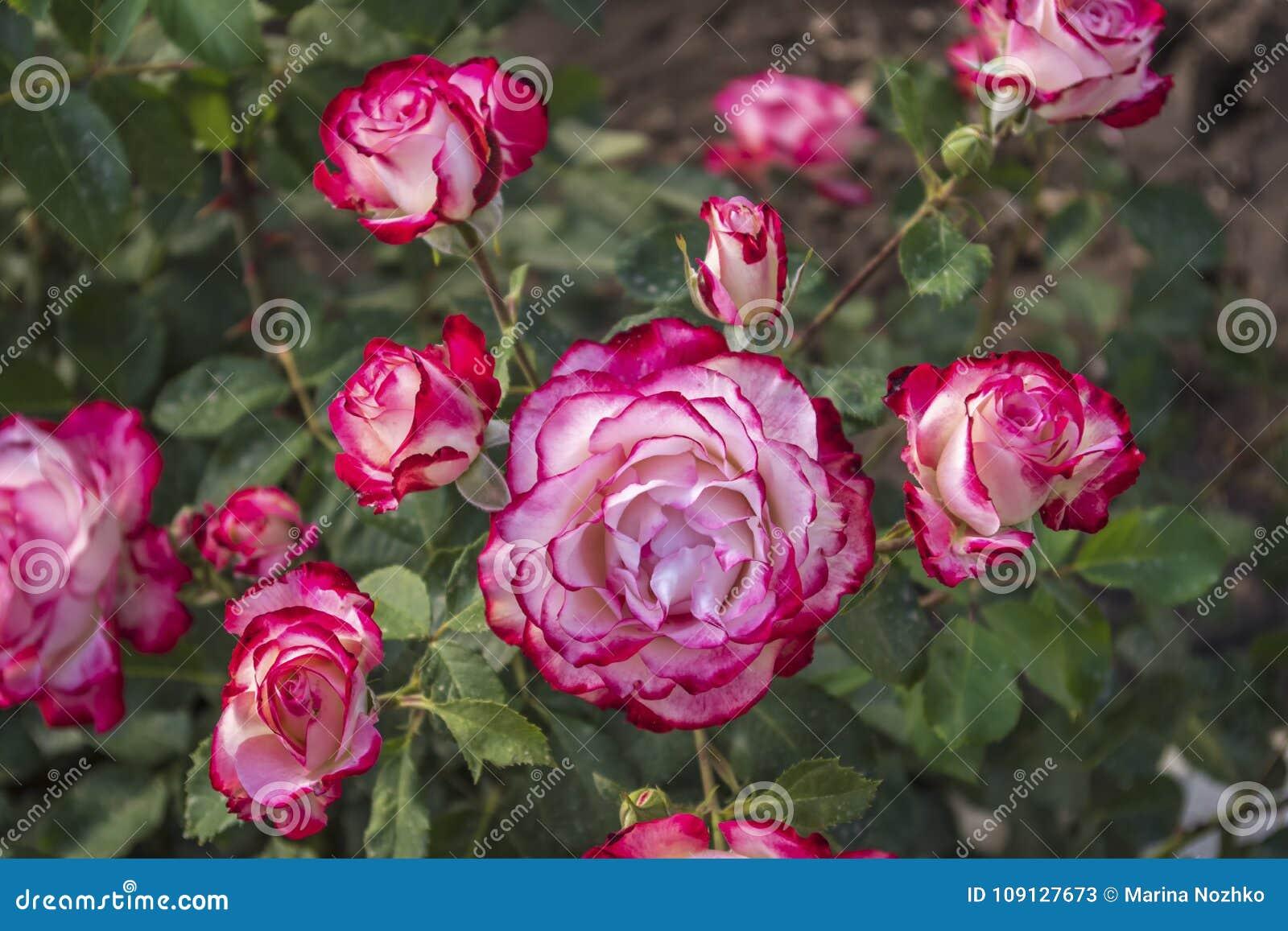 Very beautiful rose flowers bush with unusual colors stock image very beautiful rose flowers bush with unusual colors izmirmasajfo