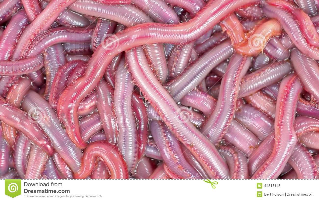 image gallery live bloodworms