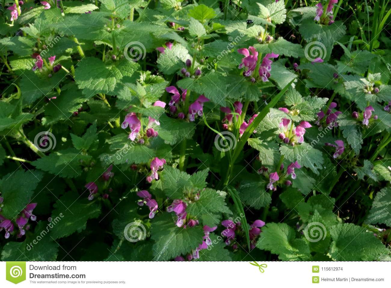 Dead Nettles with pink flowers