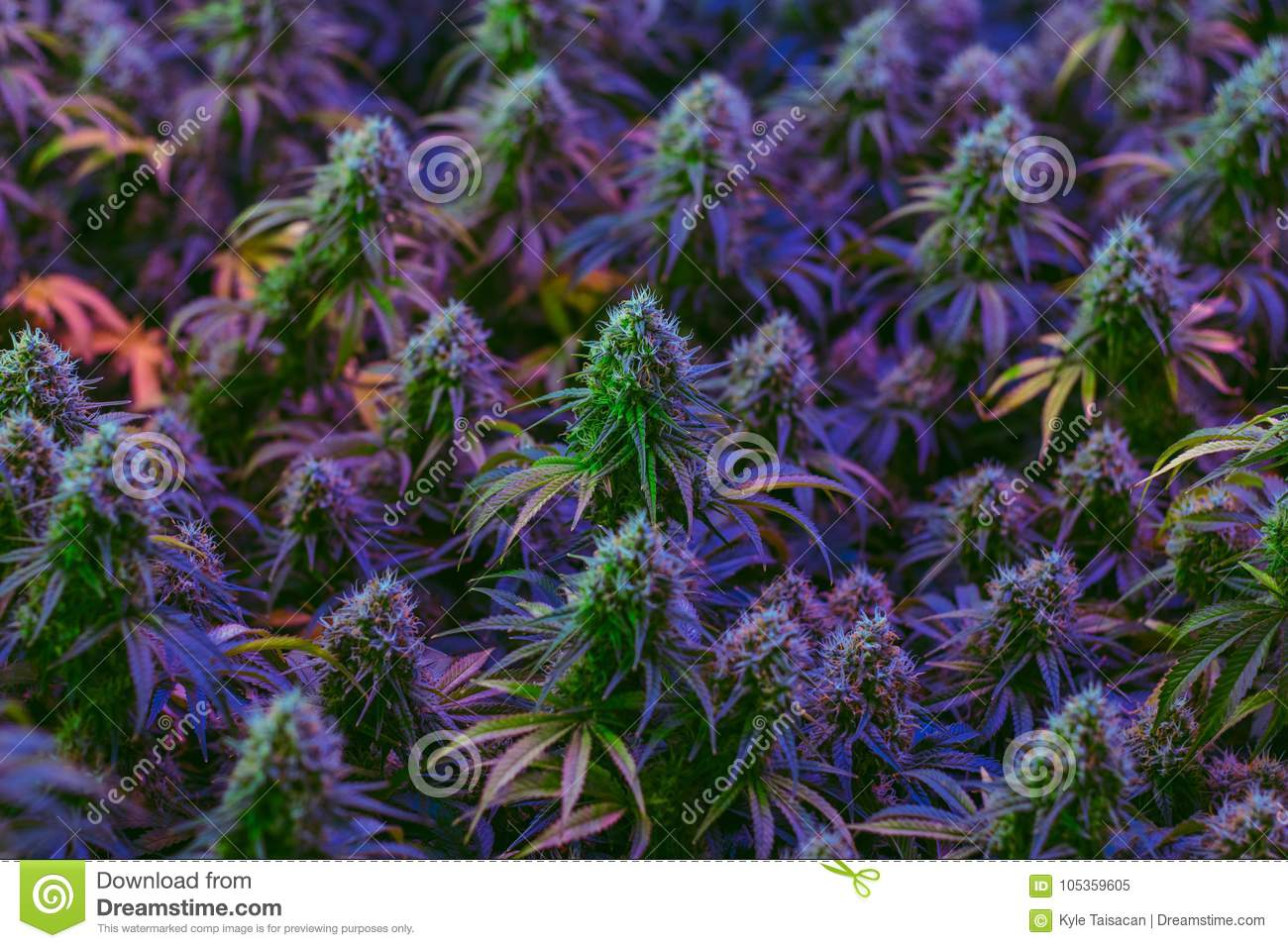 Very colorful marijuana plants being cultivated for alternative healthcare use