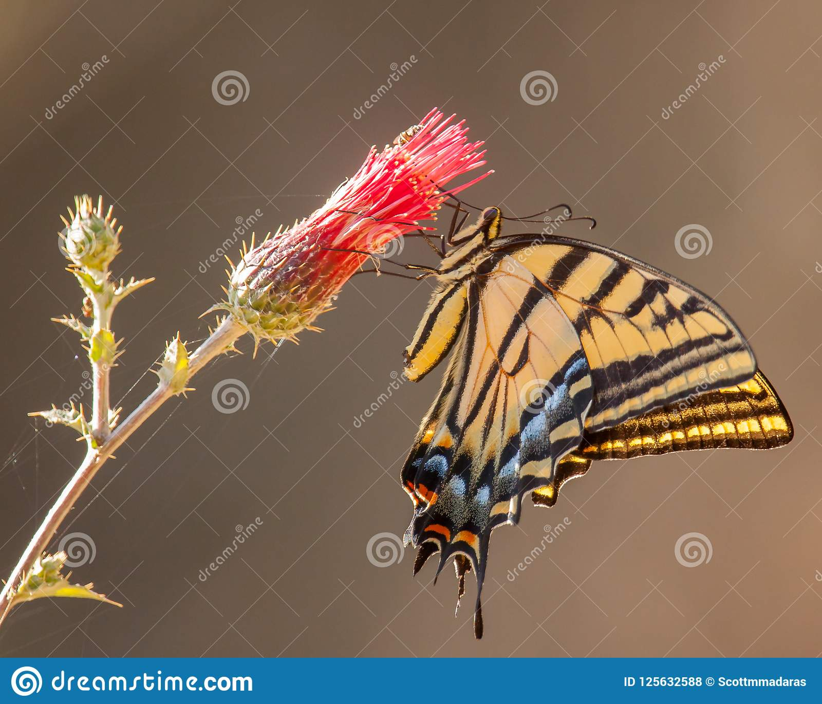 A very colorful 2-tailed swallowtail feeding on nectar from a flower