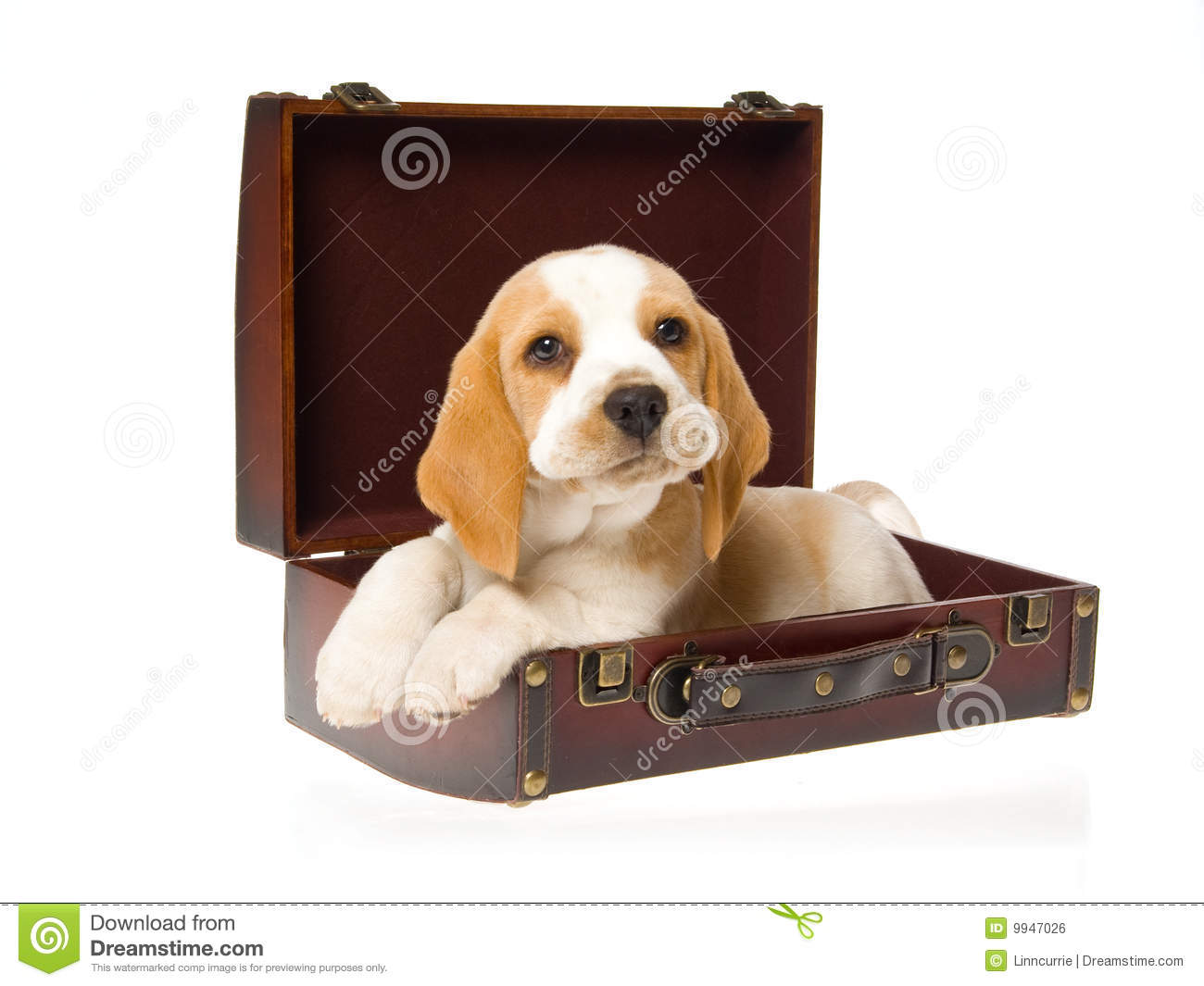 Very Cute Beagle Puppy Inside Brown Suitcase Royalty Free Stock Image ...