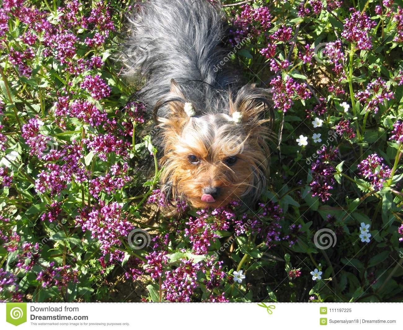 Very cute dog Yorkshire terrier between flowers