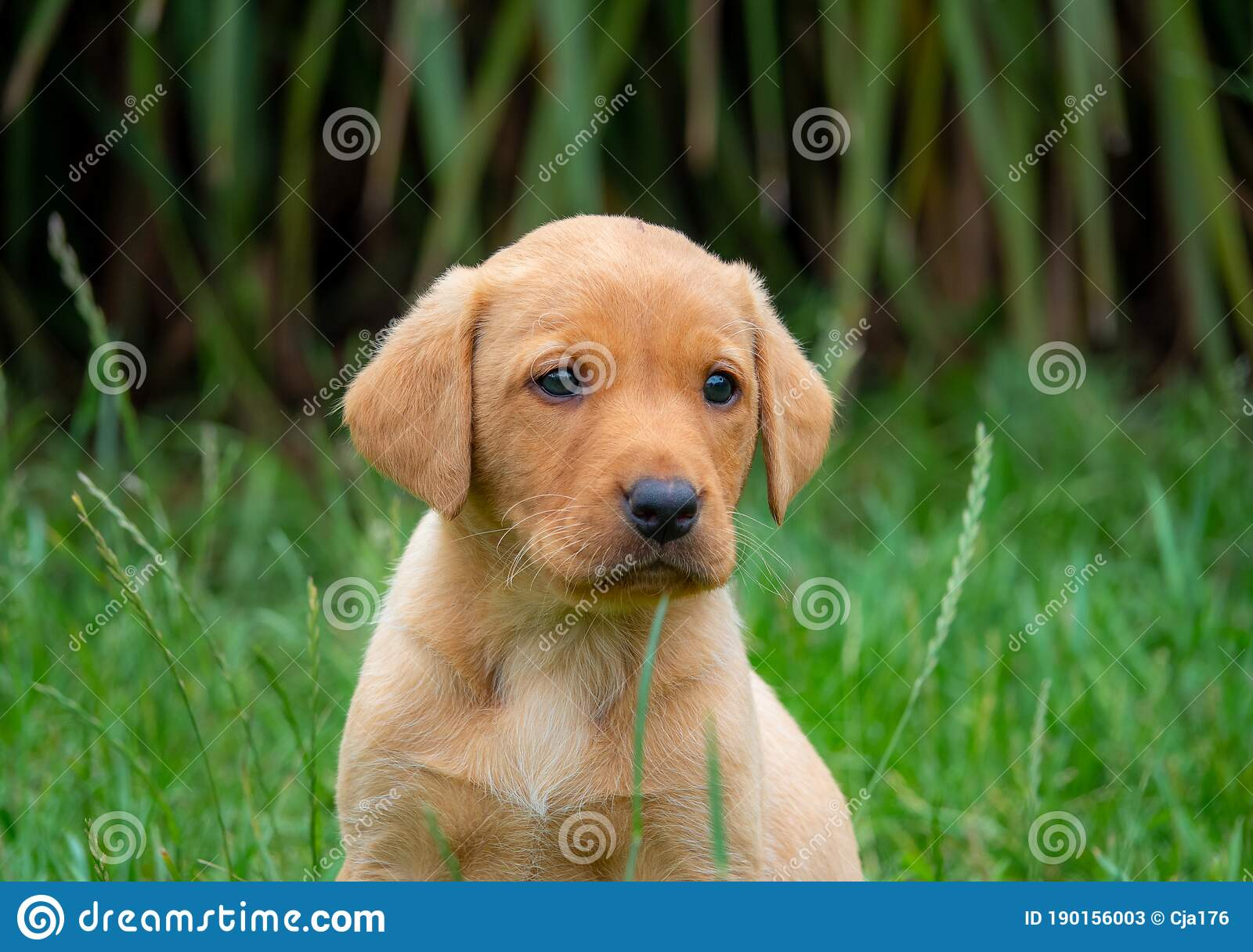 Fox Red Labrador Puppy Looking At The Camera Stock Image Image Of Friend Brown 190156003