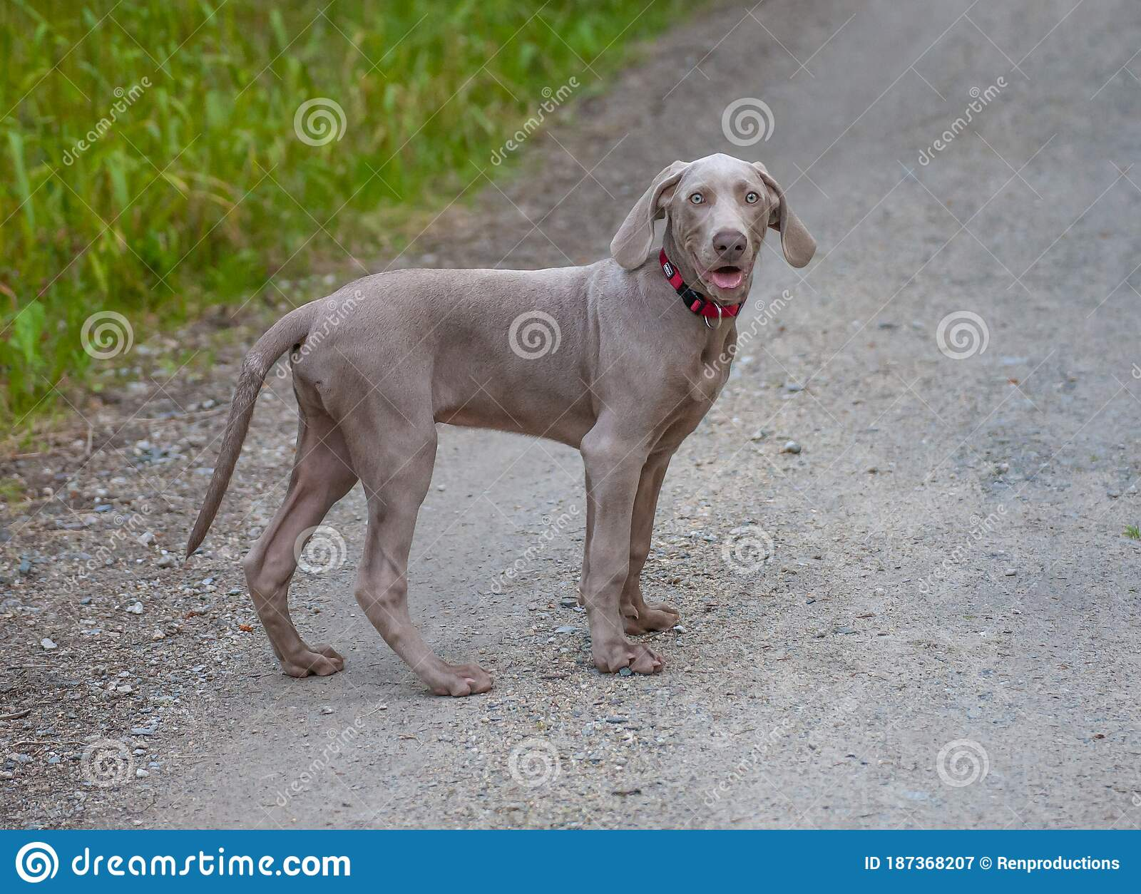 Weimaraner Puppy Takes His First Steps In Training Stock Image Image Of Hiking Deworming 187368207