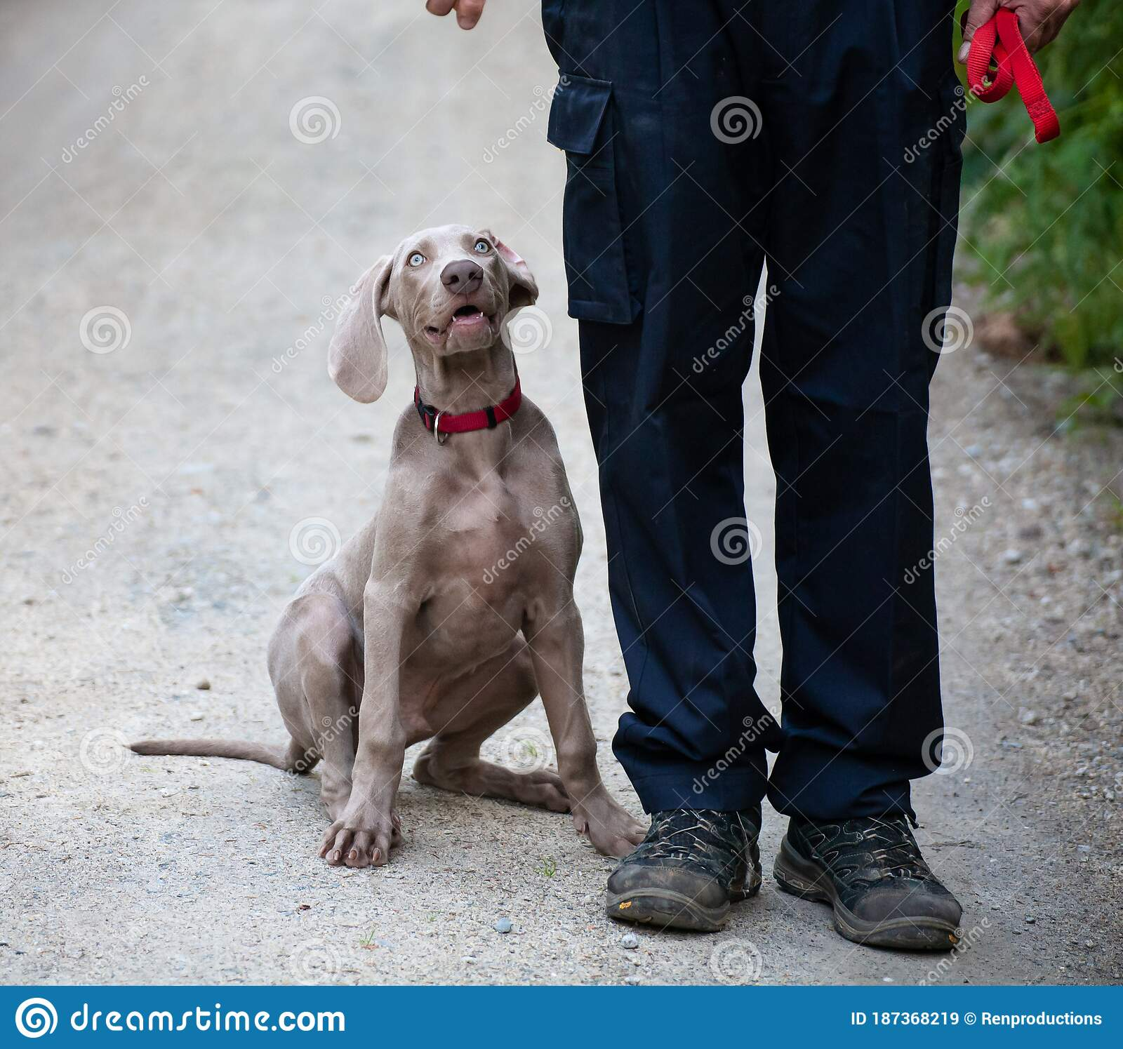 Weimaraner Puppy Takes His First Steps In Training Stock Image Image Of Hunting Companion 187368219