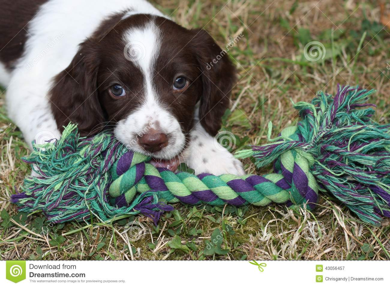 A Very Cute Young Liver And White Working Type English Springer Spaniel Pet Gundog Puppy Stock Image Image Of Working Puppy 43056457