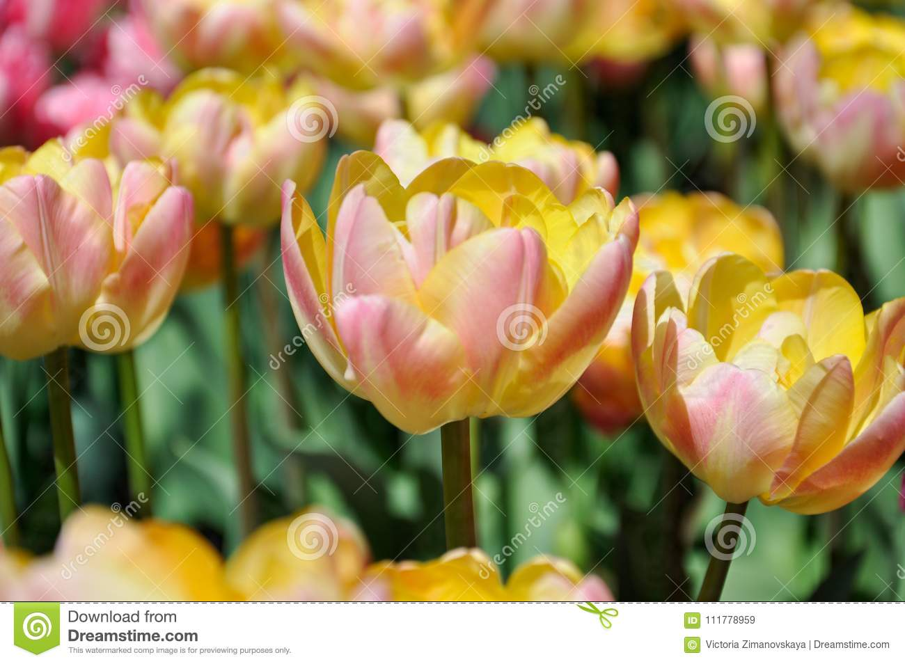 Very delicate yellow-pink tulips in the spring garden