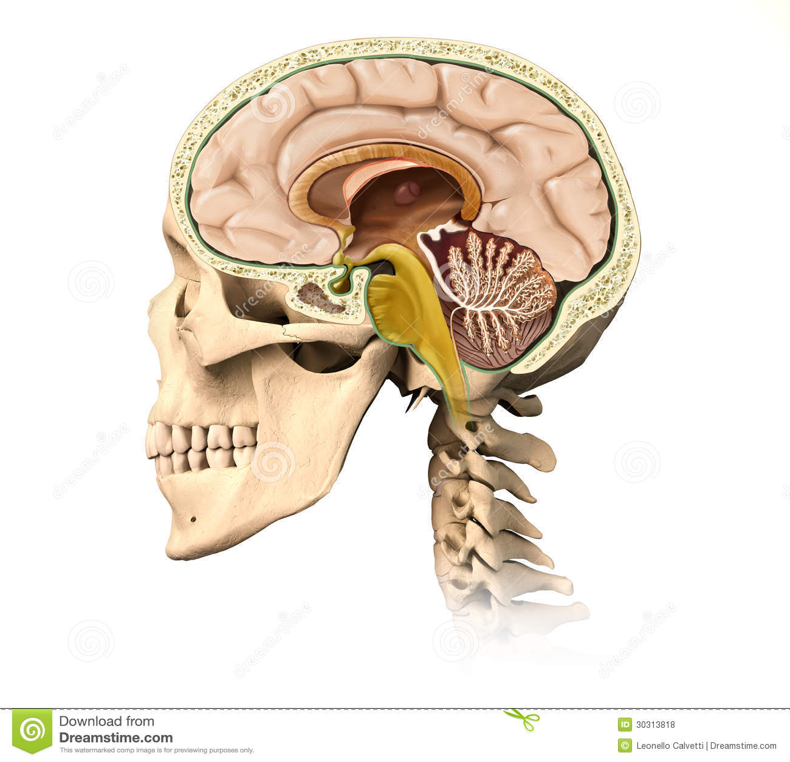human skull cutaway with all brain details mid sagittal side v