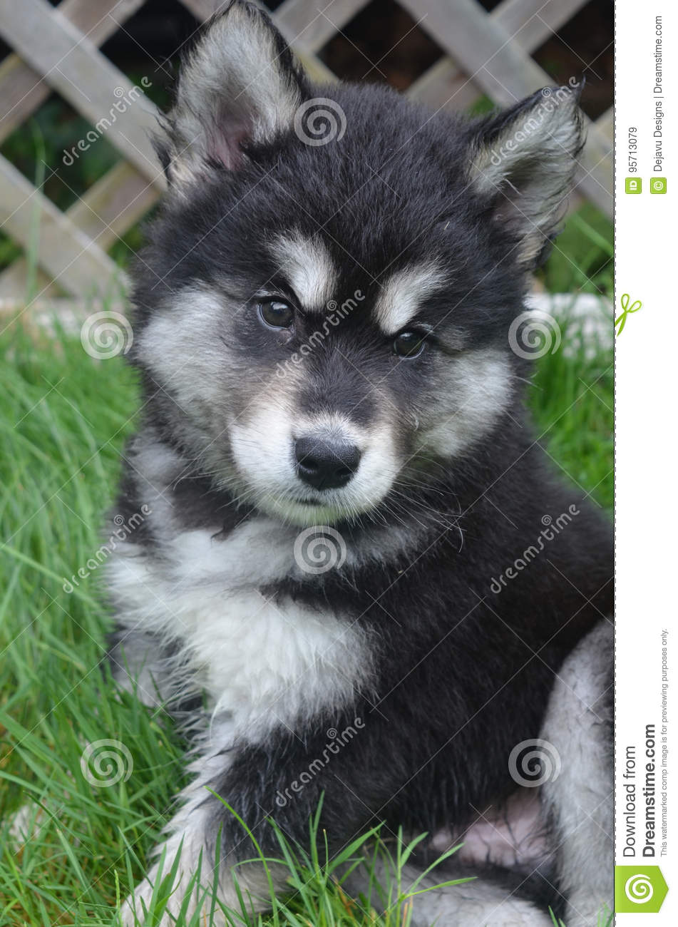 Very Fluffy Fur On An Alusky Puppy Dog Looking Cute Stock