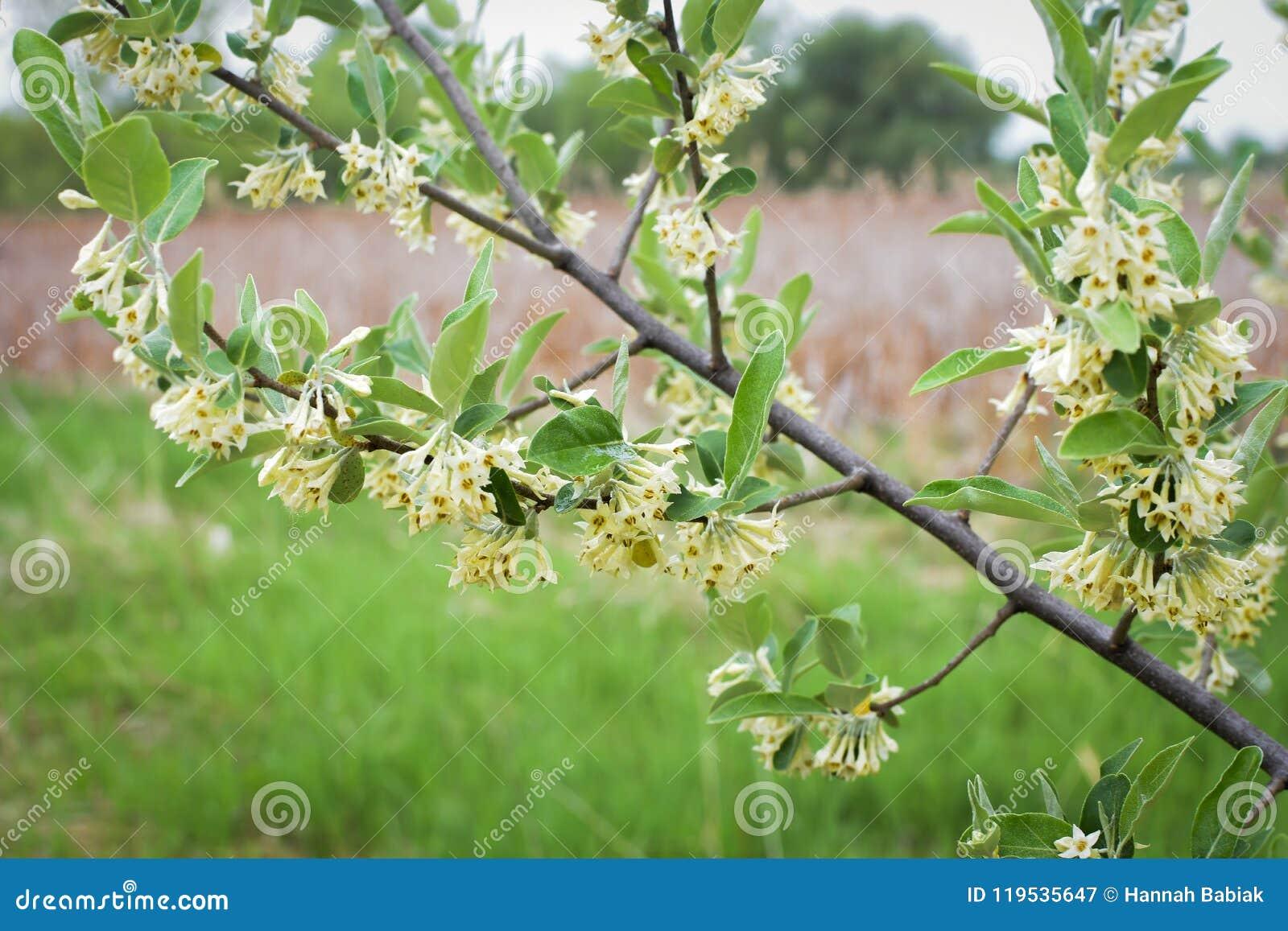 Privet Shrup White Trumpet Flowers Spring Stock Image Image Of