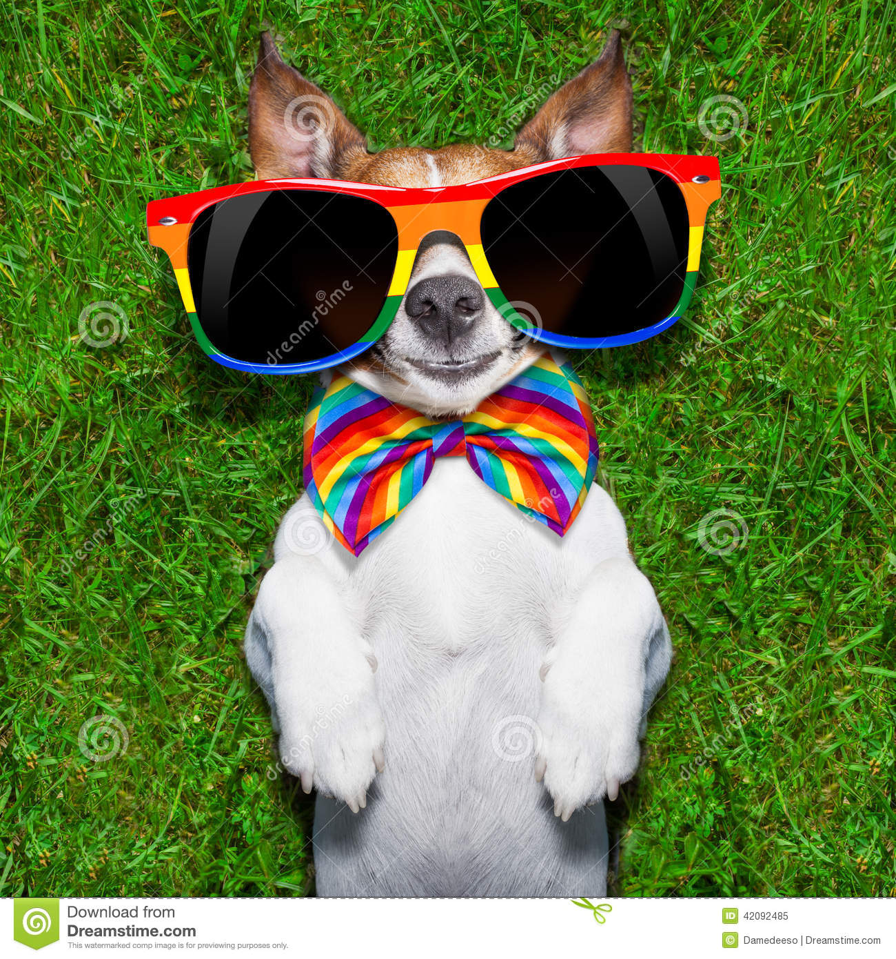 Super funny gay dog lying on back on green grass looking cool.