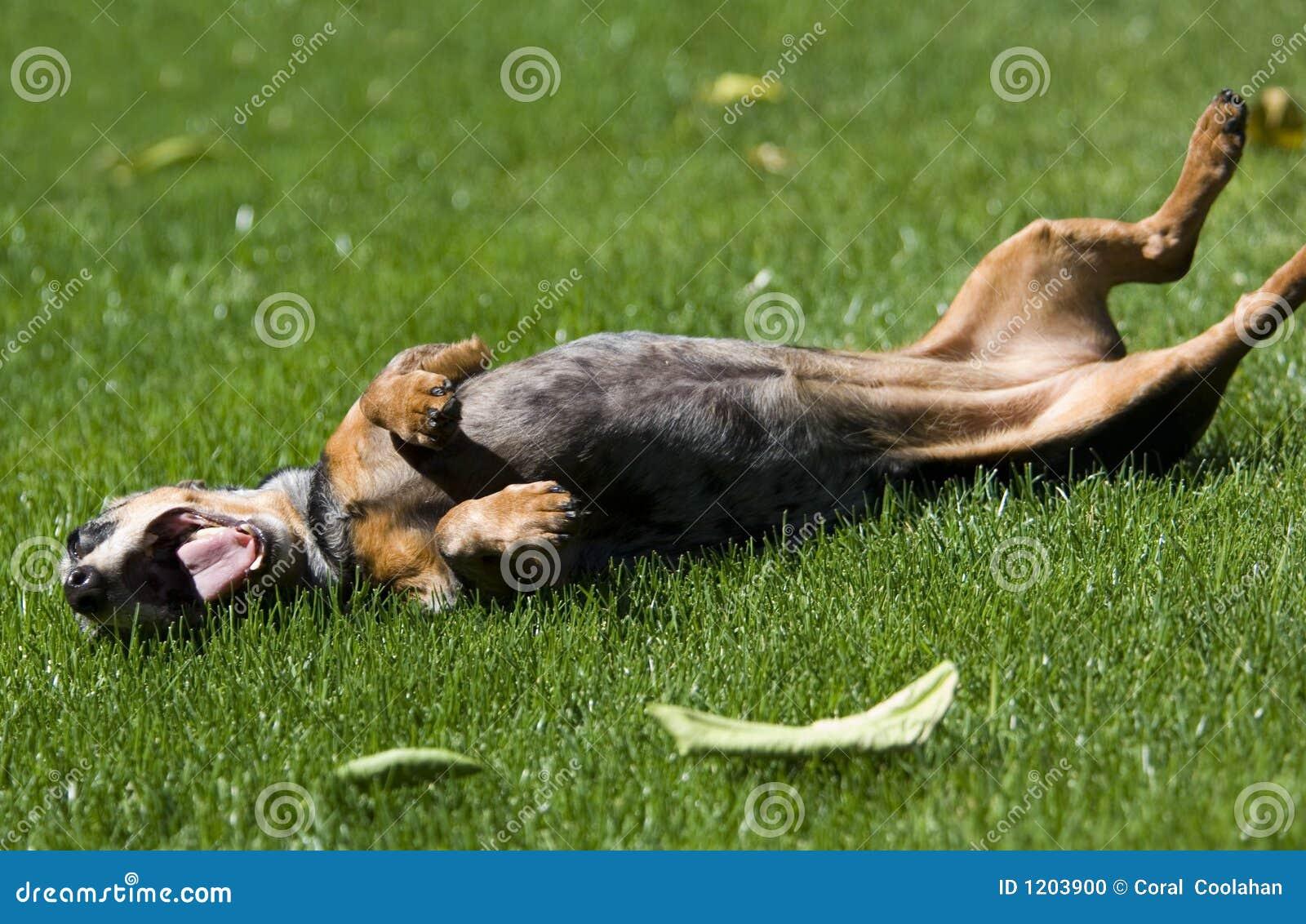Very happy dachshund