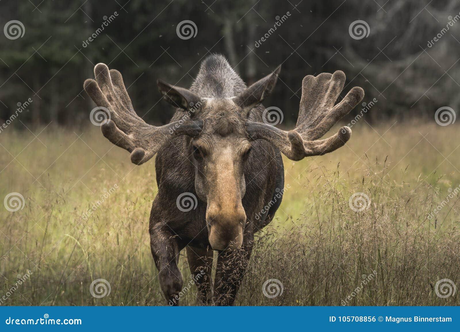 Very large male moose buck walking on a grass field in Sweden