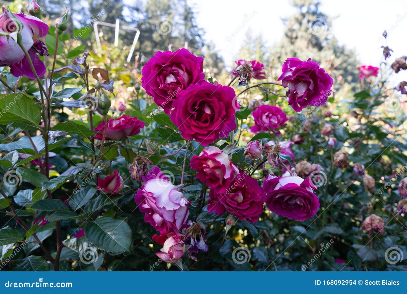 Portland Rose Garden Stock Photo Image Of Natural Decorative