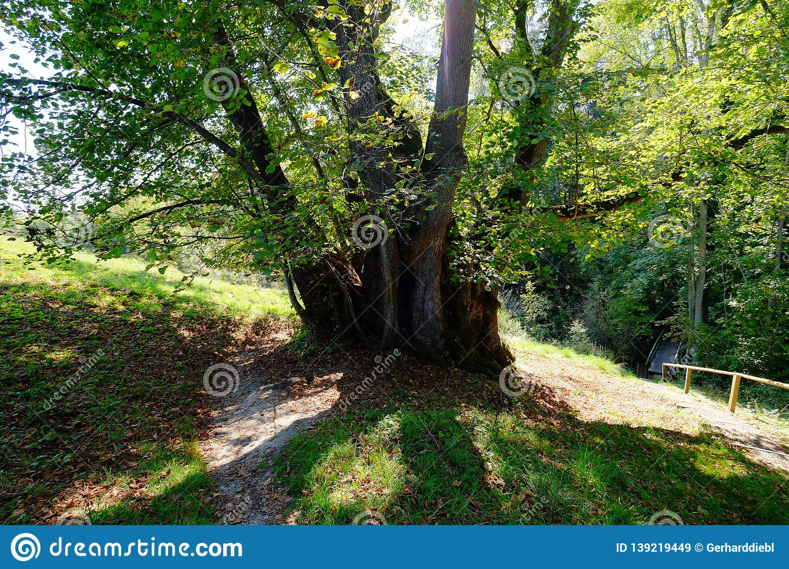very old linden tree in the garden of a monastery