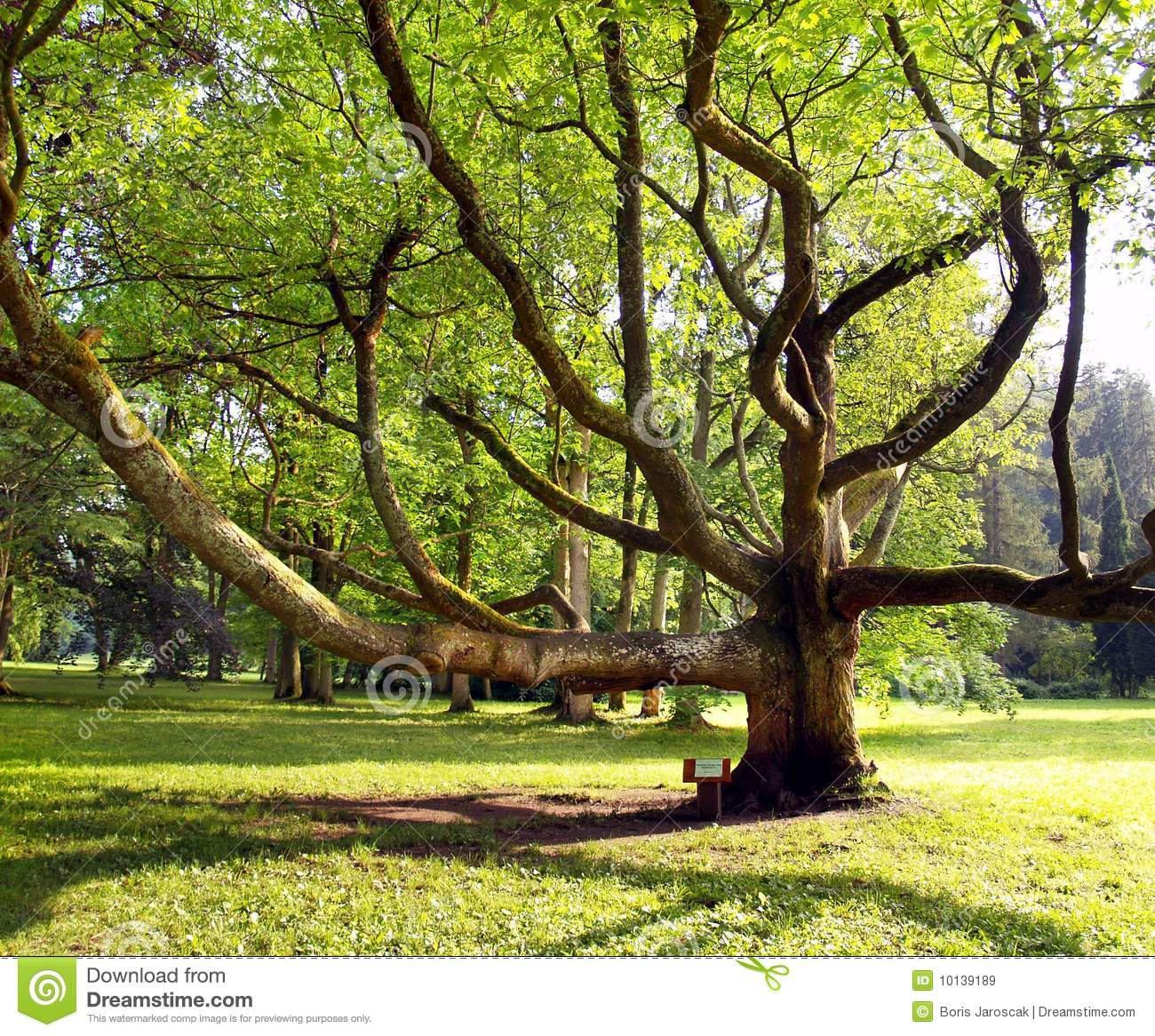 Very old tree in the park