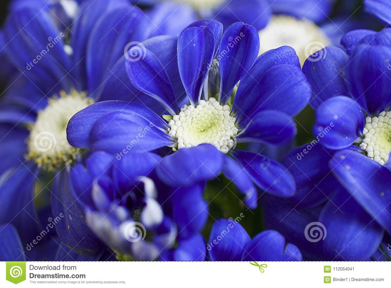 Very pretty blue spring flower close up in my garden stock image very pretty blue spring flower close up in my garden mightylinksfo