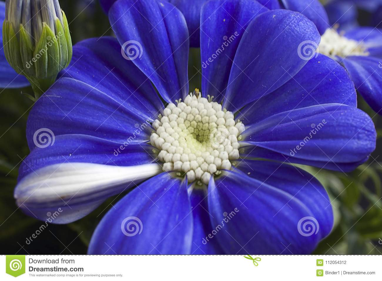 Very pretty blue spring flower close up in my garden stock photo download very pretty blue spring flower close up in my garden stock photo image of mightylinksfo