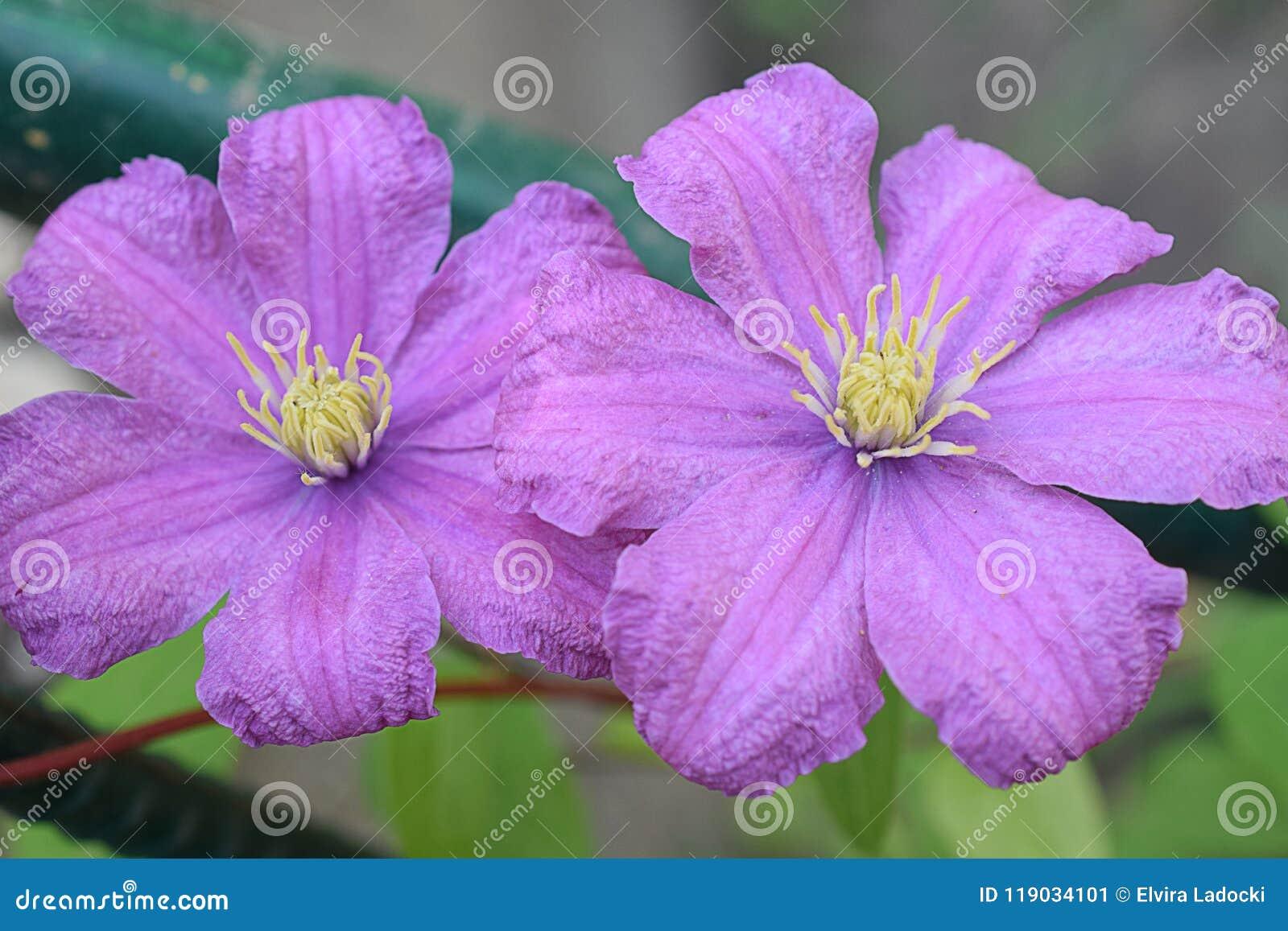 Very pretty pink flowers close up in my garden stock image image very pretty pink flowers close up in my garden mightylinksfo