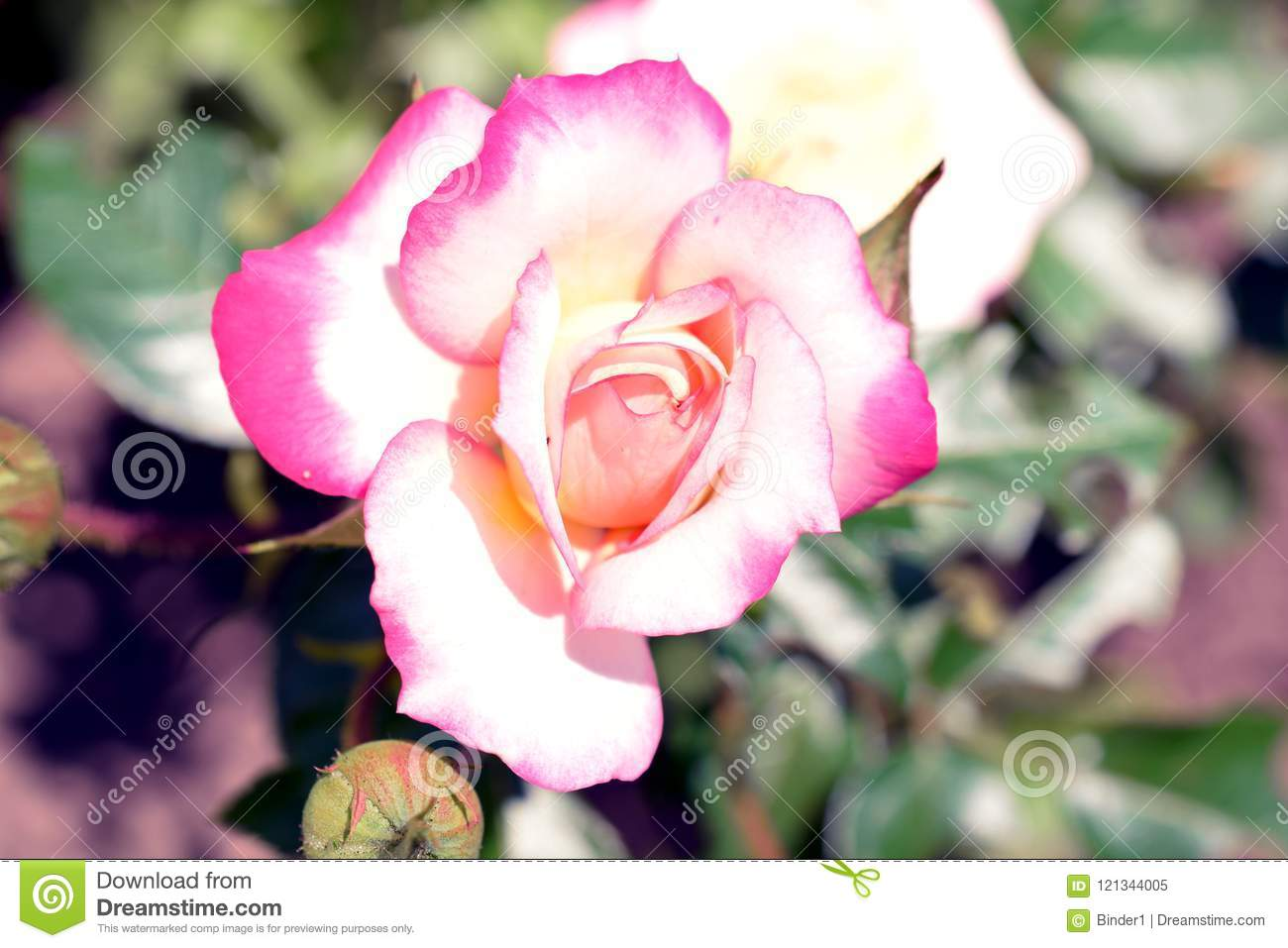 Very Pretty Rose Close Up In My Garden Stock Image Image Of Color