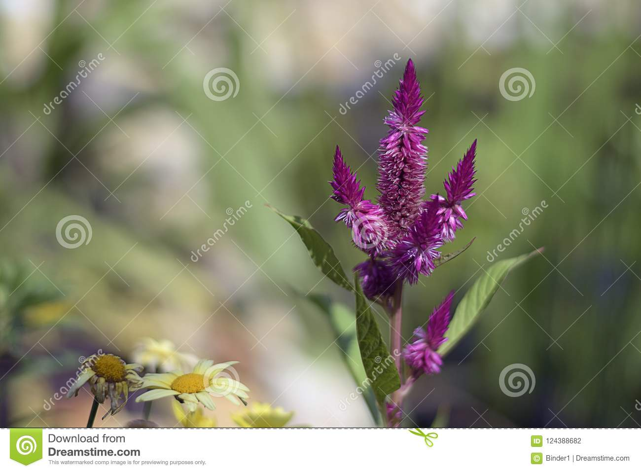 Nice Colorful Summer Flower Bud In My Garden Stock Photo Image Of