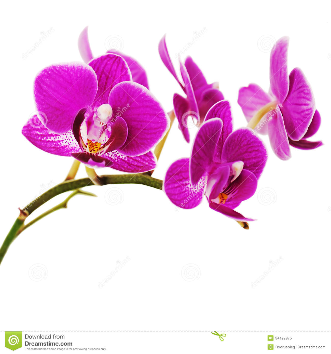 Very Rare Purple Orchid Isolated On White Background Stock Image Image 34177975