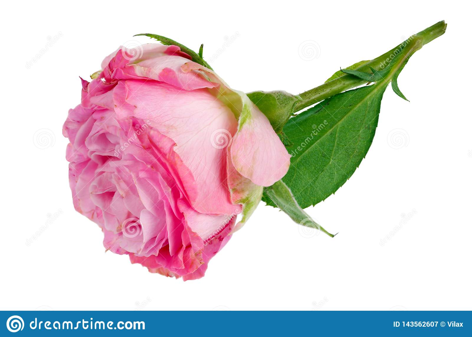 Very small perfect lonely pink rose flower lie on table isolated macro