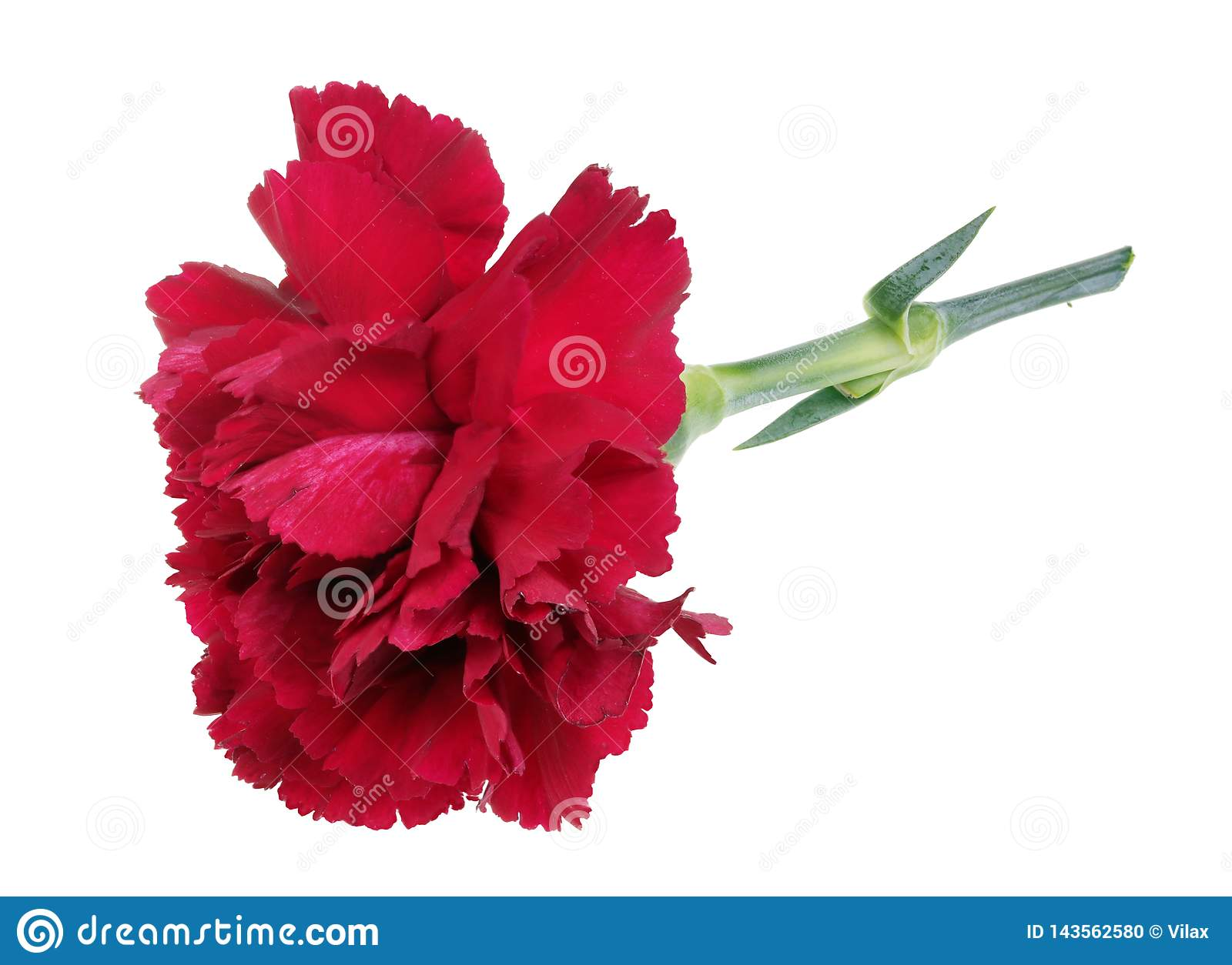 Very small perfect lonely red carnation flower lie on table isolated macro