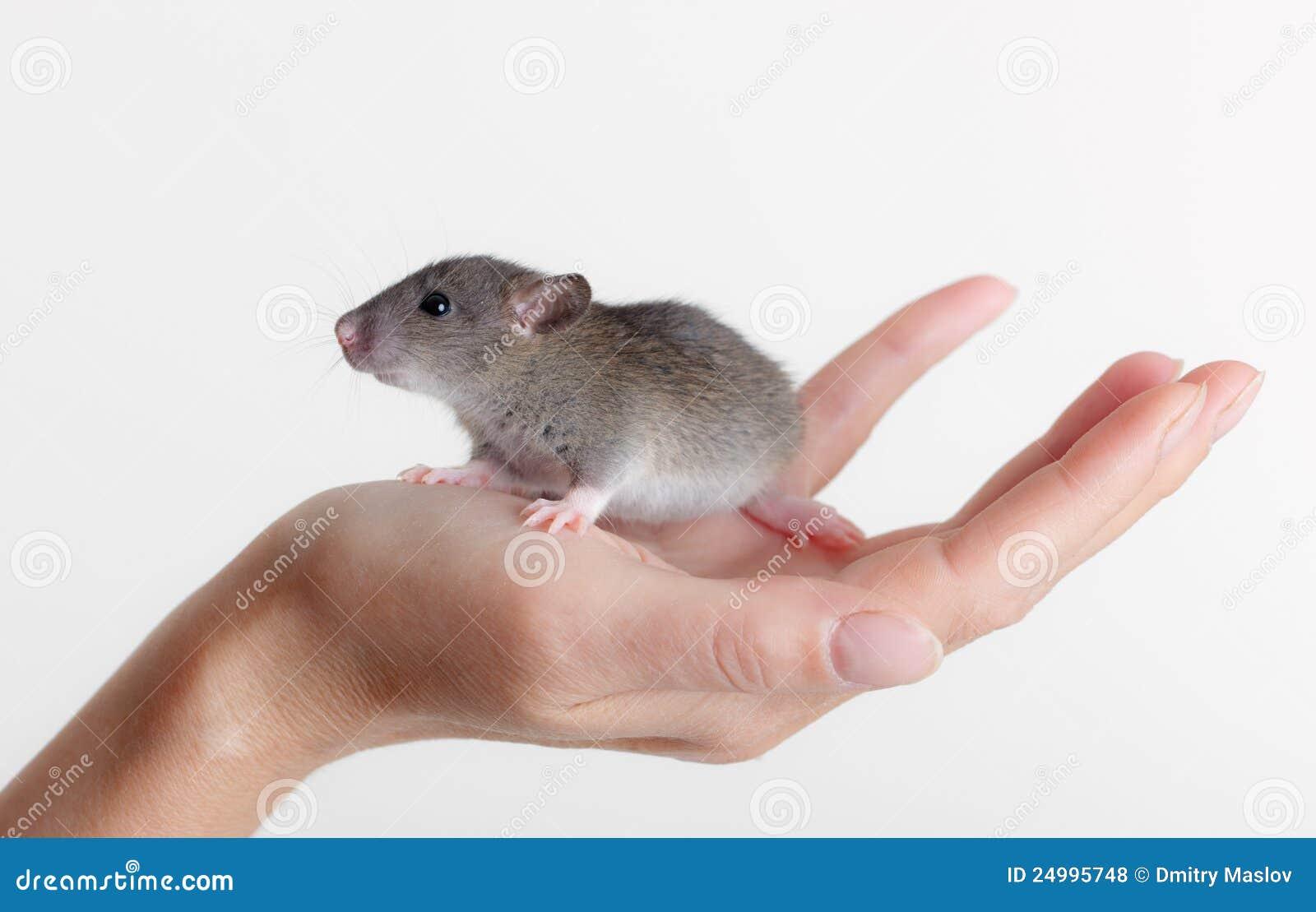 крыса лижет руки