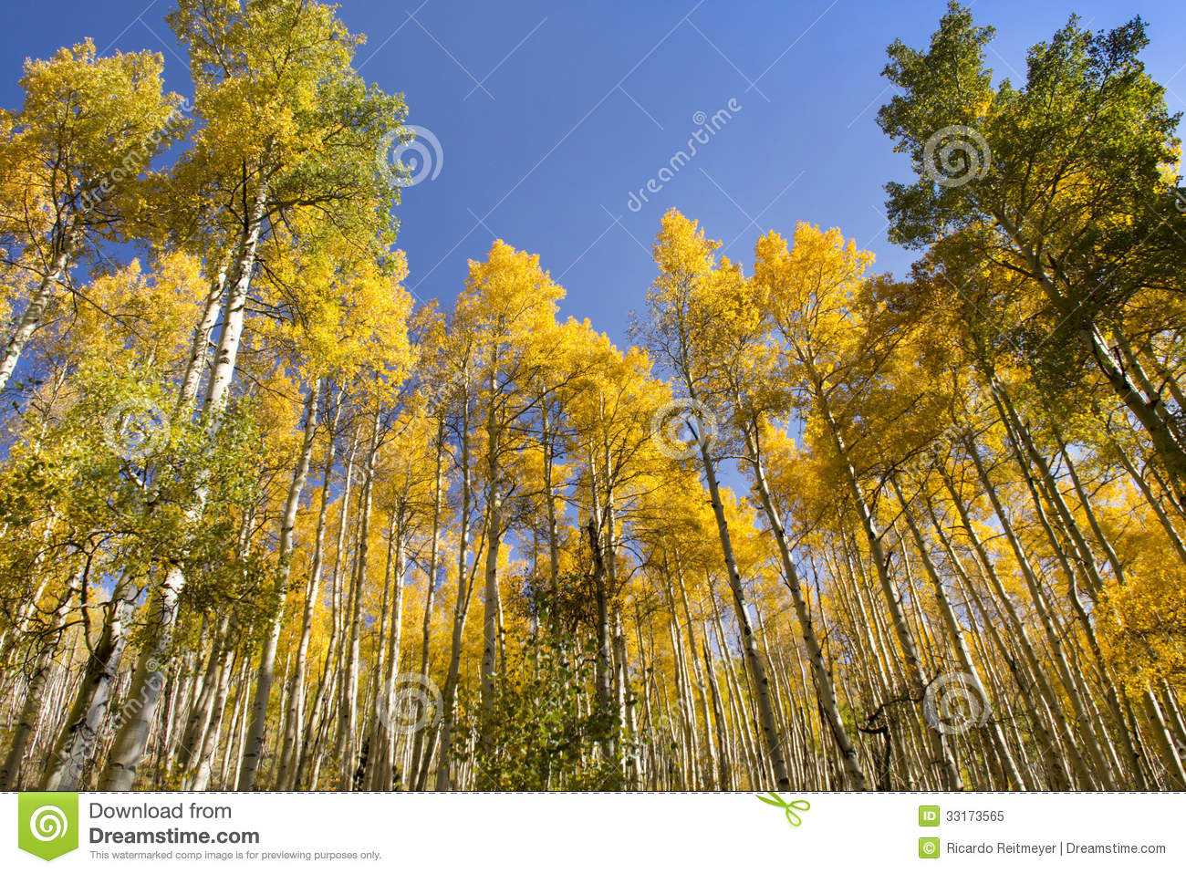 vail mountain map with Royalty Free Stock Photo Very Tall Golden Fall Aspen Trees Vail Colorado Stand Out Brightly Against Rich Blue Sky Image33173565 on Polaris Slingshot Colorado Driving Laws Updated besides Eagle County additionally Ski Resort in addition Vail Colorado Weather also Howelsen Hill Ski Area.