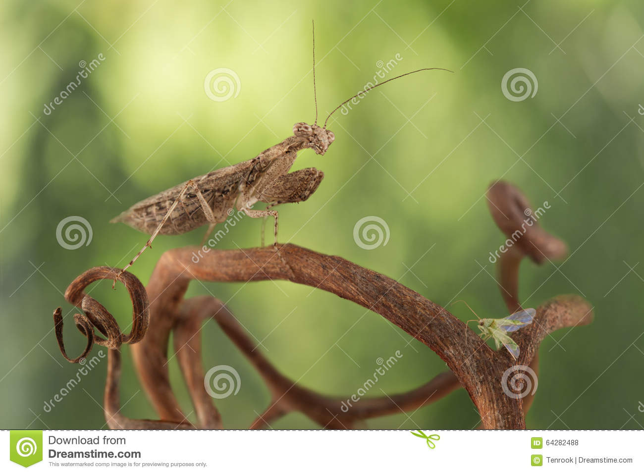 Very tiny mantis hunted for small green