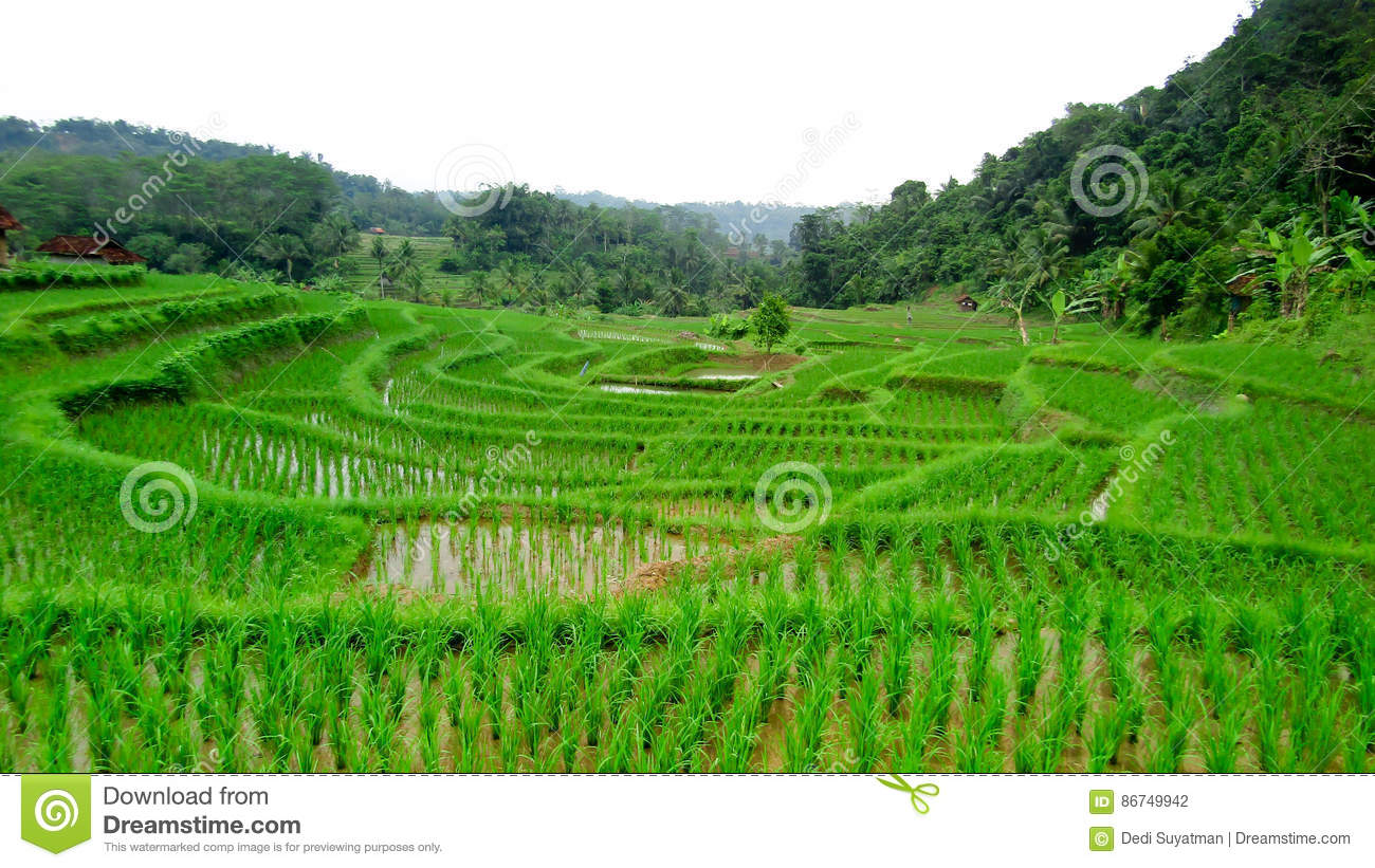a very unique form of rice field stock photo image of field