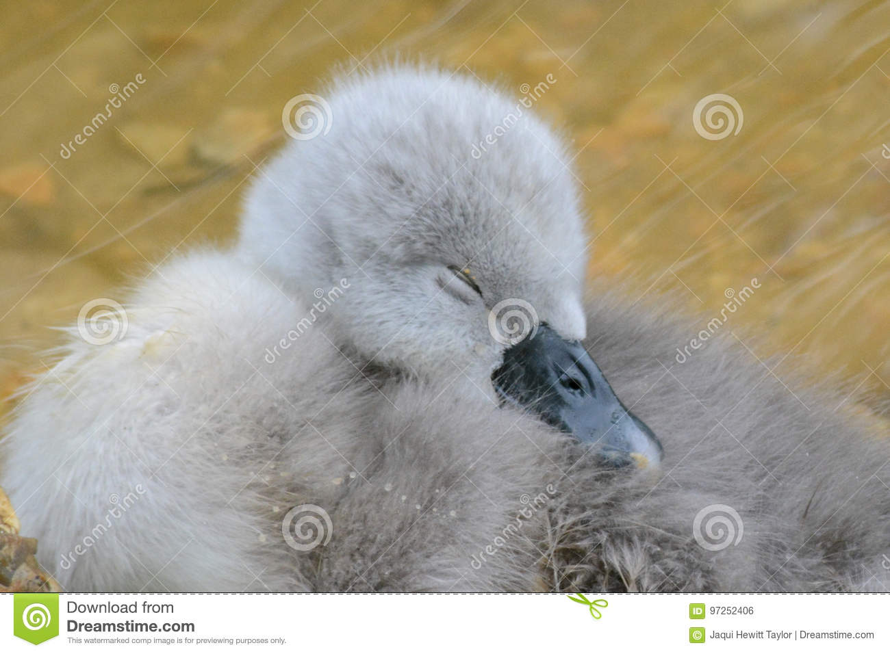A very young cygnet sleeping
