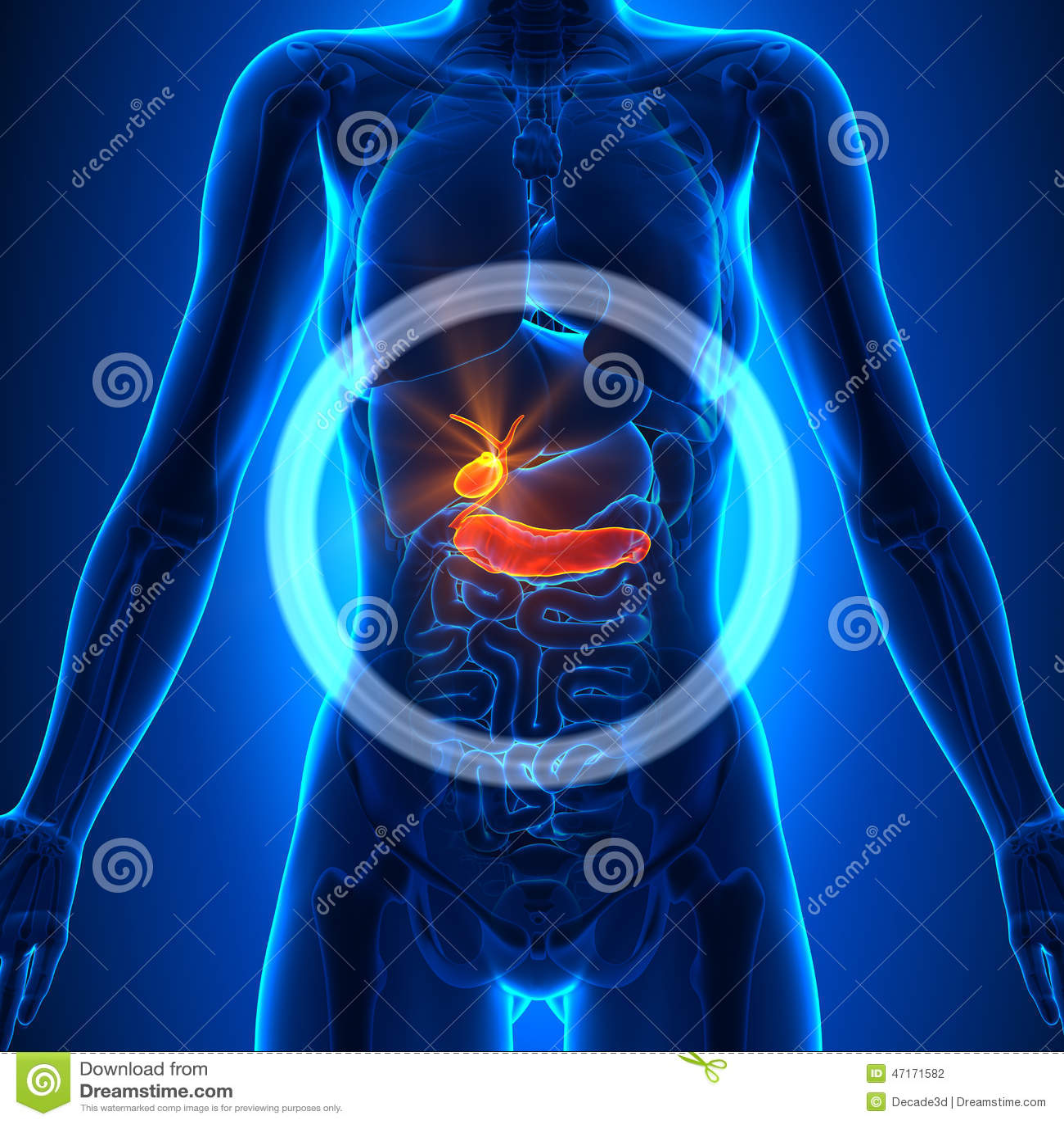 Vesícula Biliar/páncreas - órganos Femeninos - Anatomía Humana Stock ...