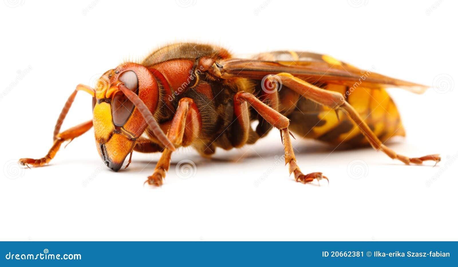 vespa crabro comp