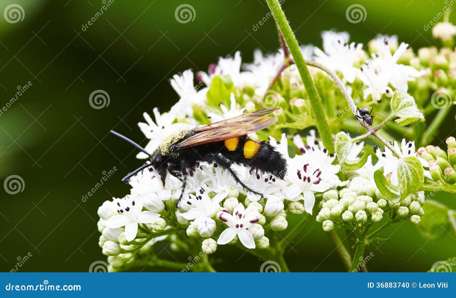Download Vespa fotografia stock. Immagine di animale, comune, herbal - 36883740