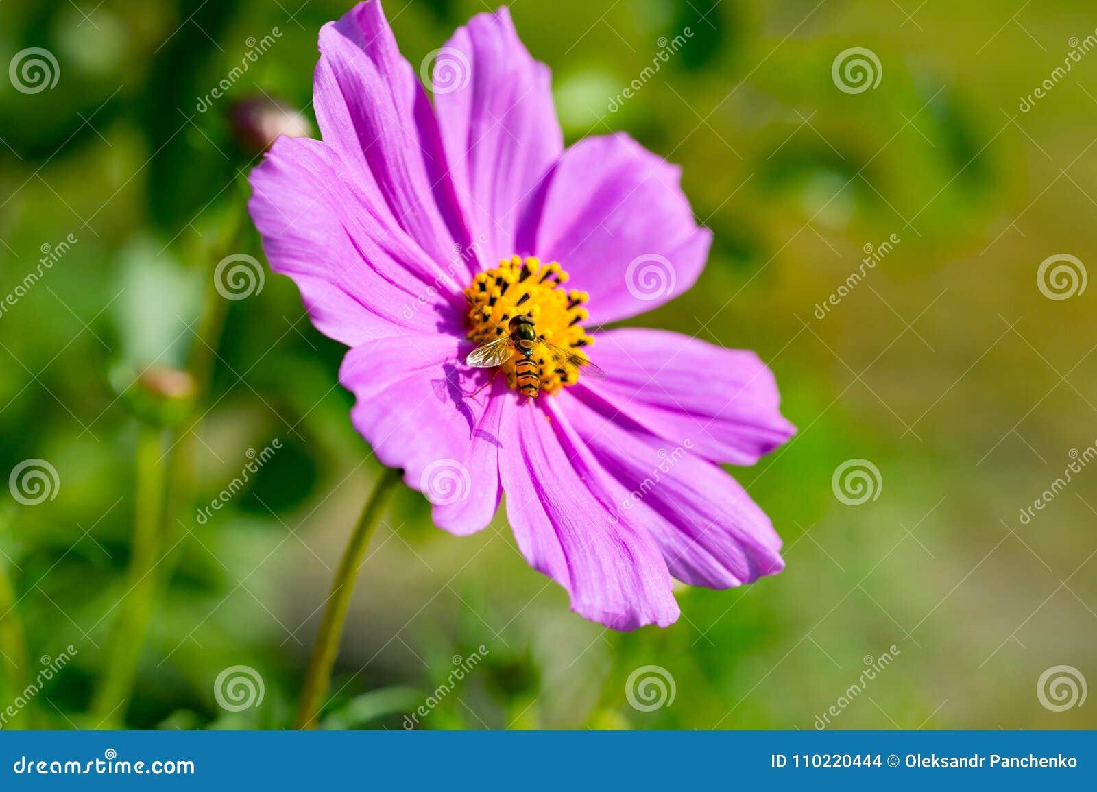 Vespa dentro il cosmos bipinnatus rosa del fiore dell universo Fine in su Na
