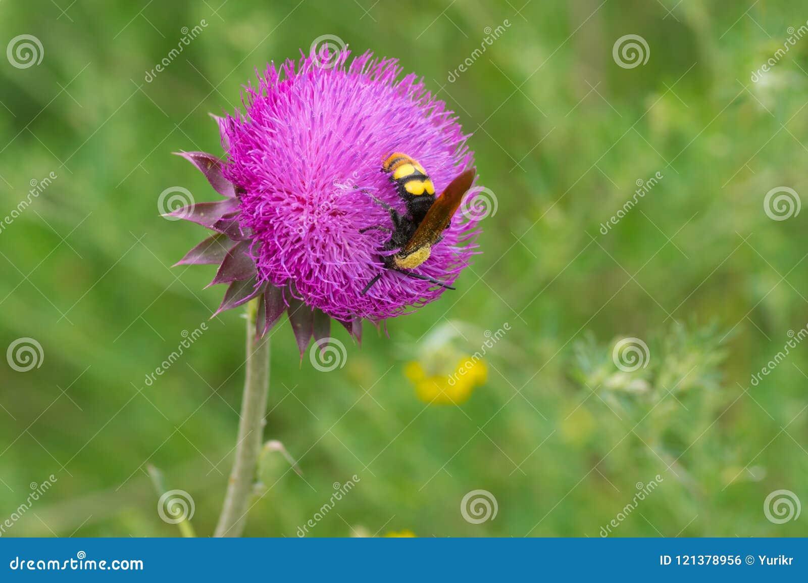 Vespa grande que suga o néctar em uma flor do cardo