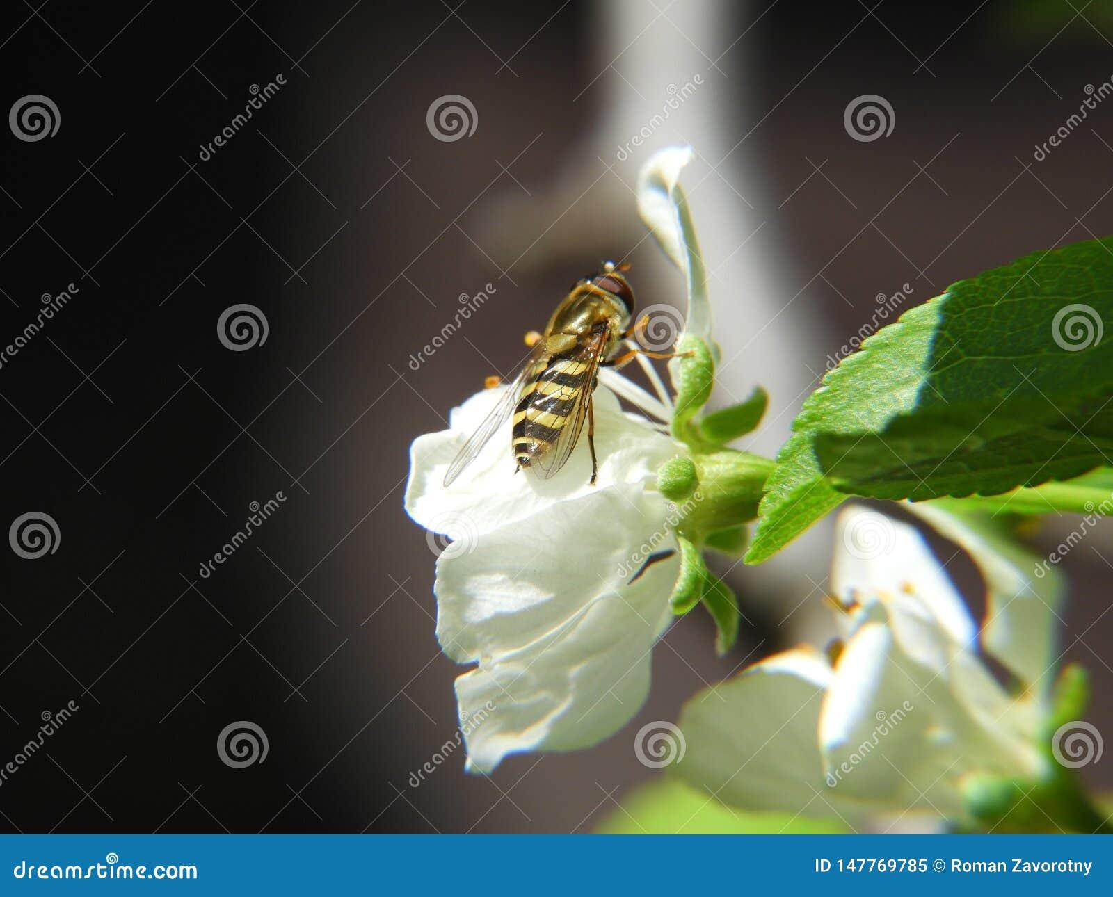 Vespa nova em uma árvore de Apple da flor