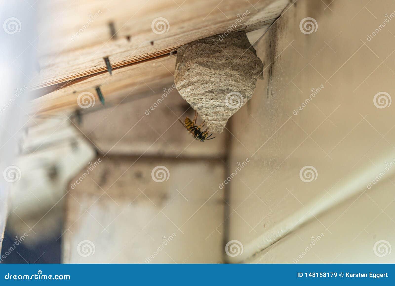 A vespa Preto-amarela constr?i um ninho da vespa sob uma sali?ncia de madeira do telhado