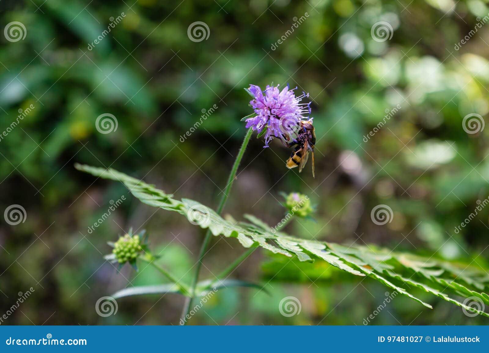 Vespa sul fiore porpora