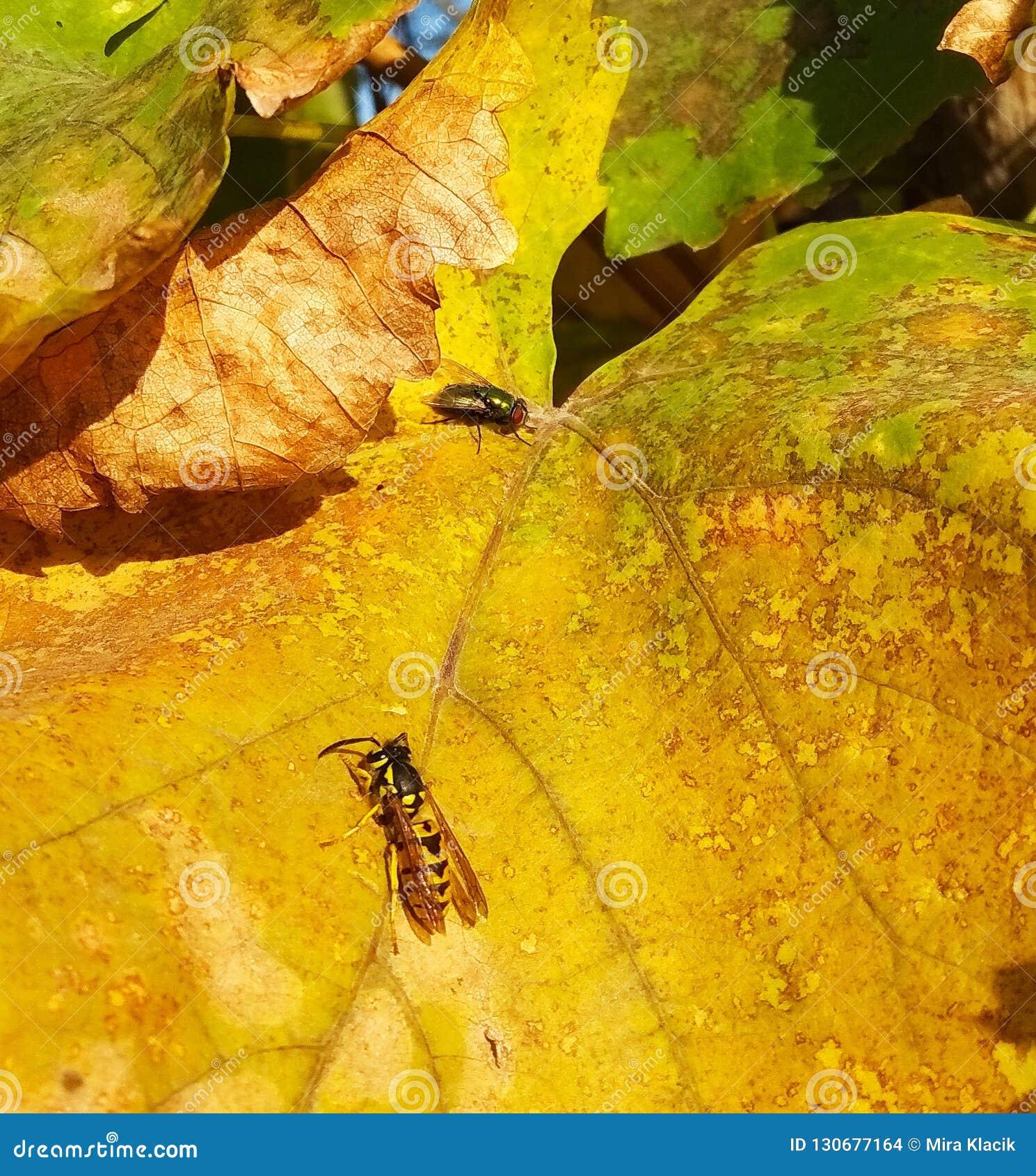 Vespas e mosca