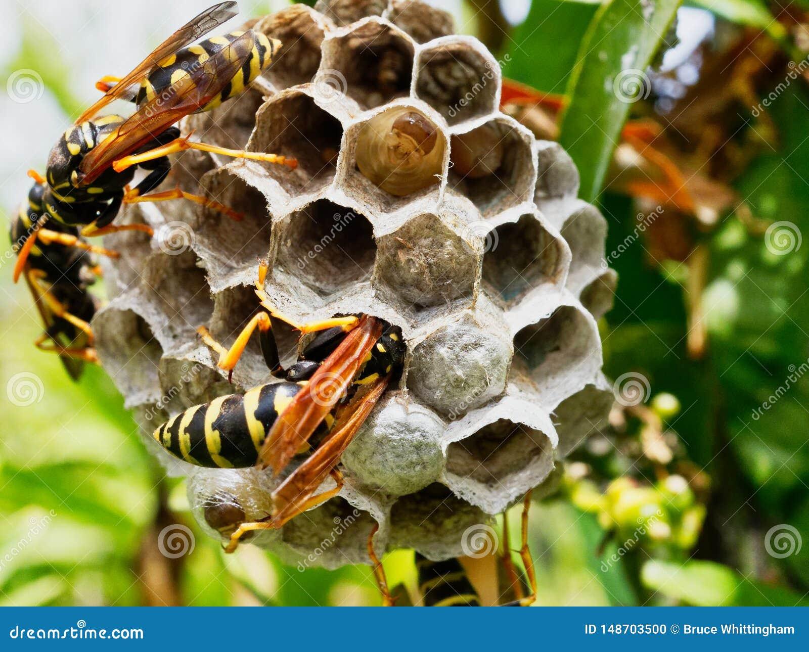 Vespas que tendem o ninho com amadurecimento das larvas vis?veis em uma pilha aberta