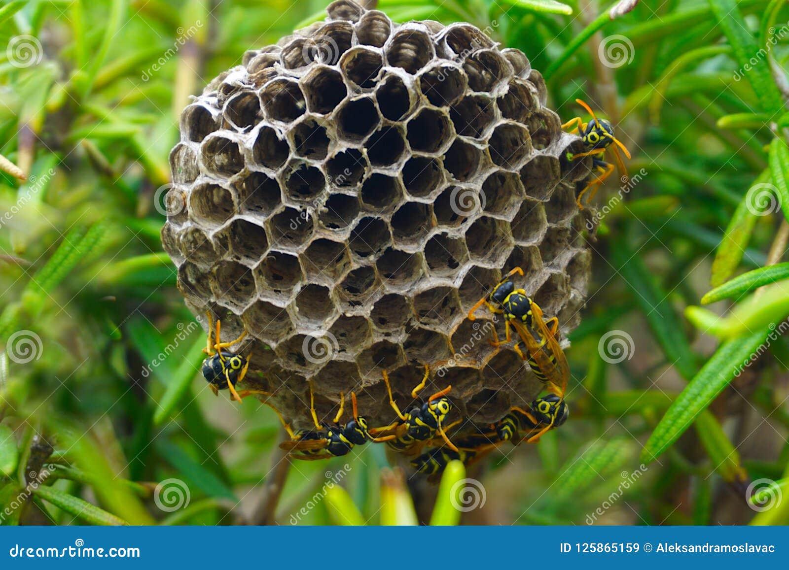 Vespiary of kolonie van sociale wespen op Mediterrane struik van rozemarijn