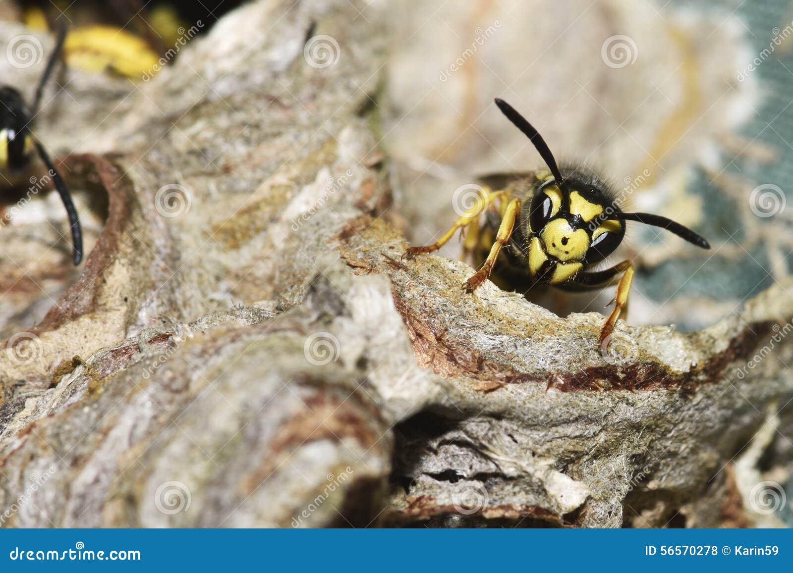 Download Vespula Germanica στοκ εικόνες. εικόνα από βιότοπος, κίτρινος - 56570278