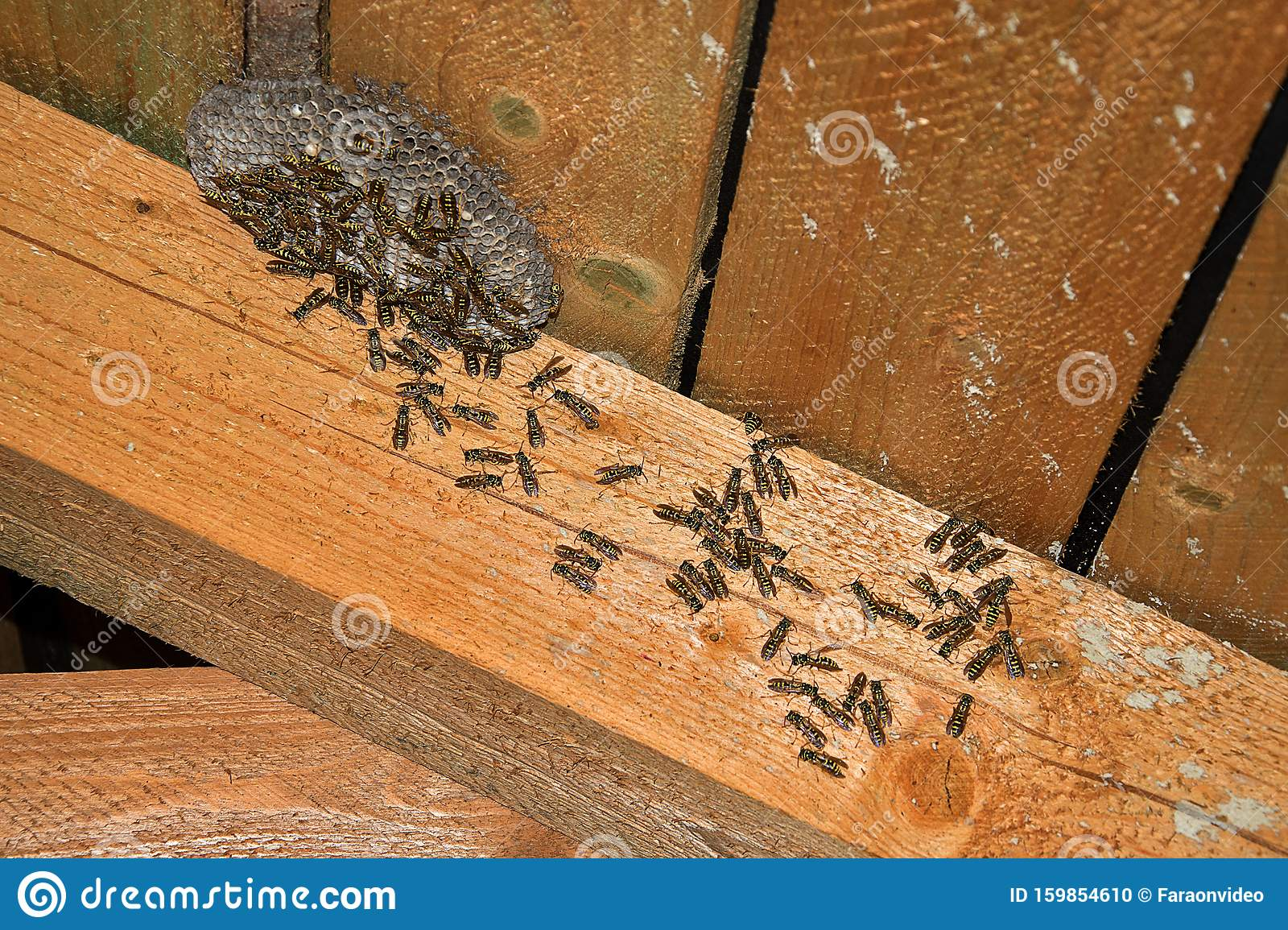 Vespula Vulgaris. Wasp Nest In The Attic Of The House ...